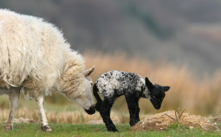 New born black and white speckled lamb and a mother sheep standing together in a field in spring.