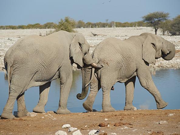 nudge-elephant_cropid-1924572