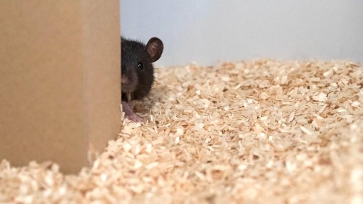 Rat play