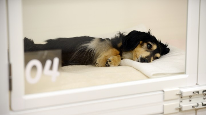 The placebo effect in pets